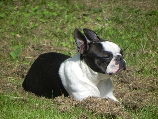 Les Boston Terrier de l'affixe Du Domaine D'amserpa