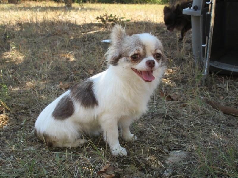 Chihuahua - Lolita d acca larentia