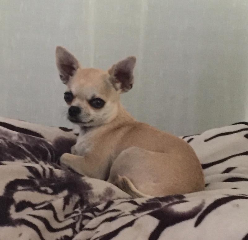Les Chihuahua de l'affixe du clos Mayerland