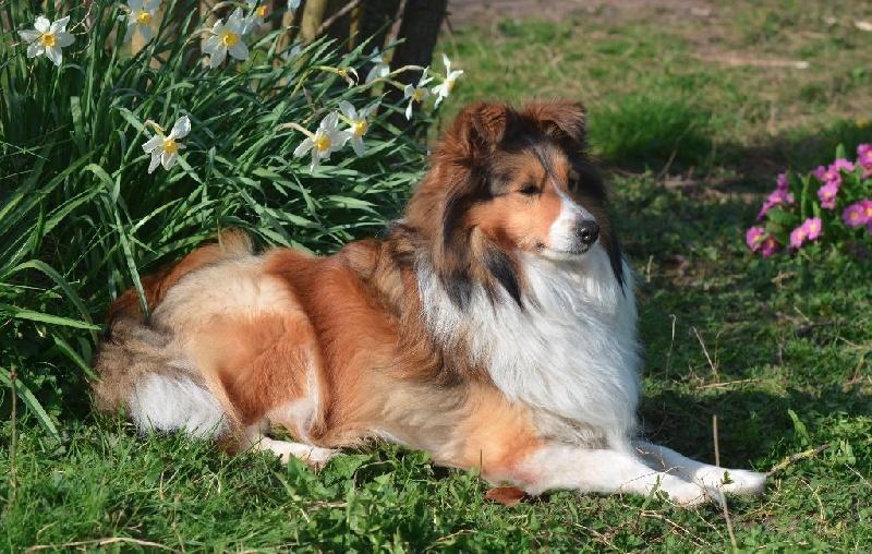Les Shetland Sheepdog de l'affixe des lutins de Cassiopée