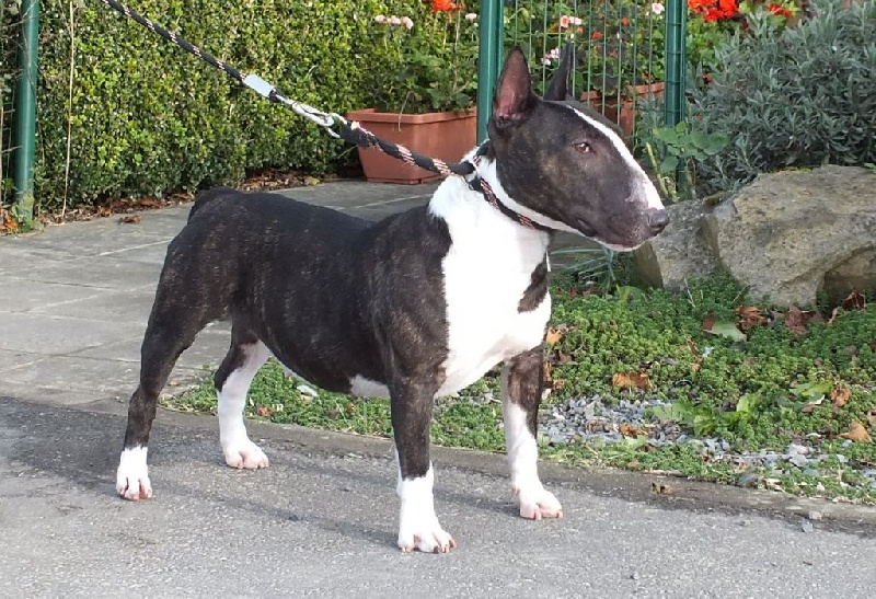 Le Standard de la race Bull Terrier Miniature sur Atara.com