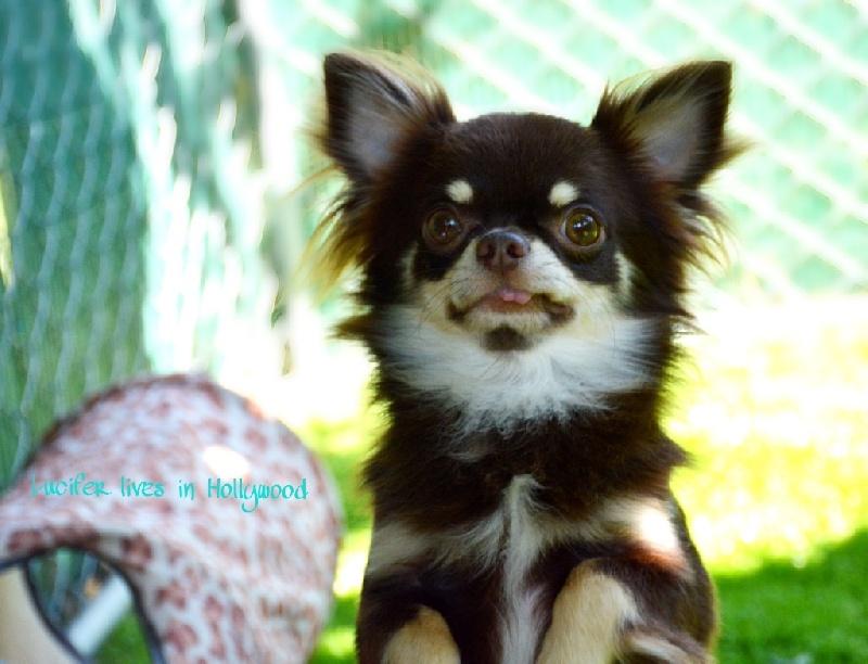 Chihuahua - Lucifer lives in hollywood de la grande equinoxe