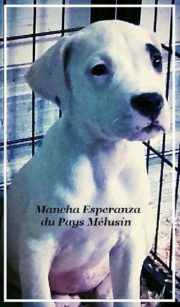 Les Dogo Argentino de l'affixe de Cibeins