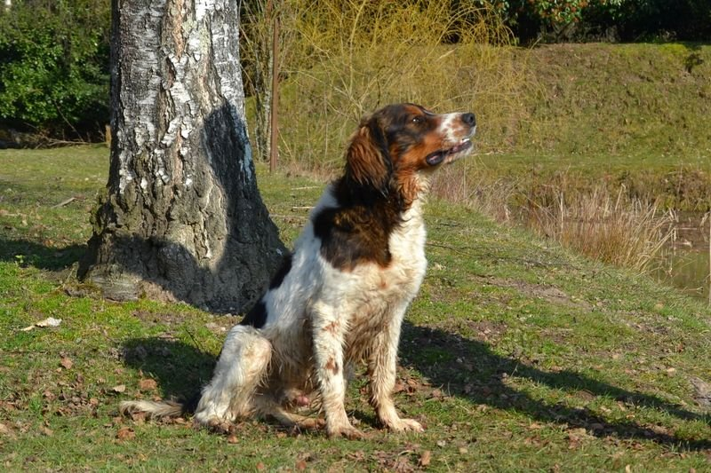 English Springer Spaniel - Lover for sologne hunters des hauts de Garros
