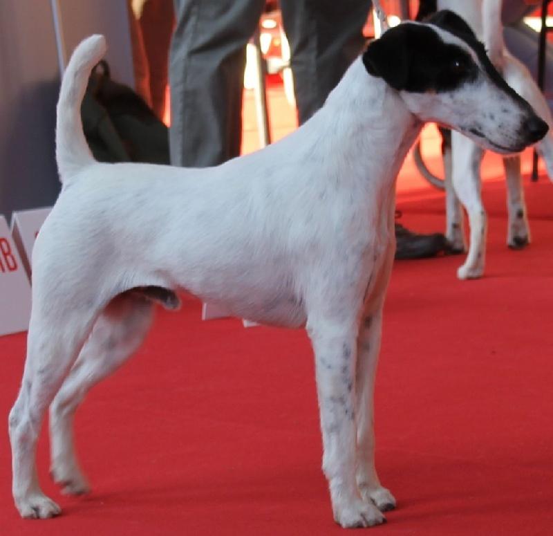 Fox Terrier Poil lisse - Loveme lv De malvau