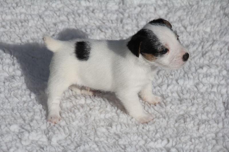 Jack Russell Terrier - Lando Du champ de l'ormeau