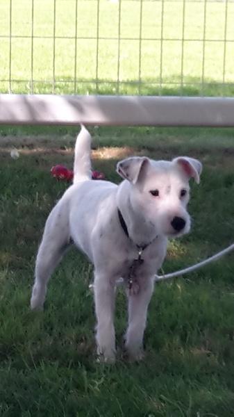 Jack Russell Terrier - Lucky Du champ de l'ormeau