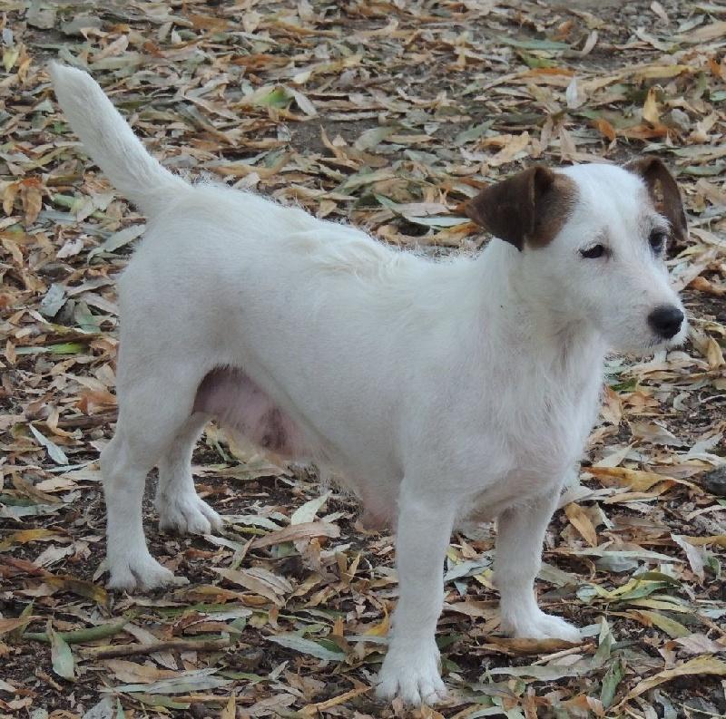 Les Jack Russell Terrier de l'affixe De La Villa Des Houx