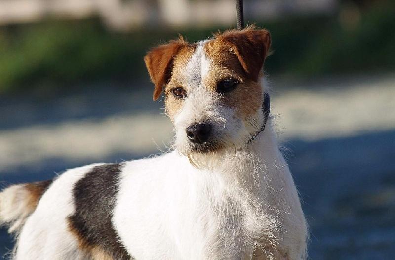 Les Parson Russell Terrier de l'affixe Nunca Sem Quereis