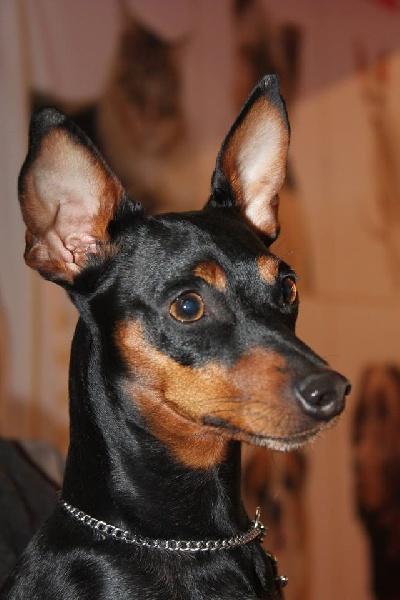 Chien - Elevage Du Domaine De Goult - eleveur de chiens