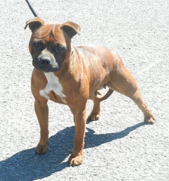 Les Staffordshire Bull Terrier de l'affixe De Rockstar Dog