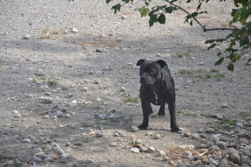 Staffordshire Bull Terrier - Julia Des Sources De La Liane
