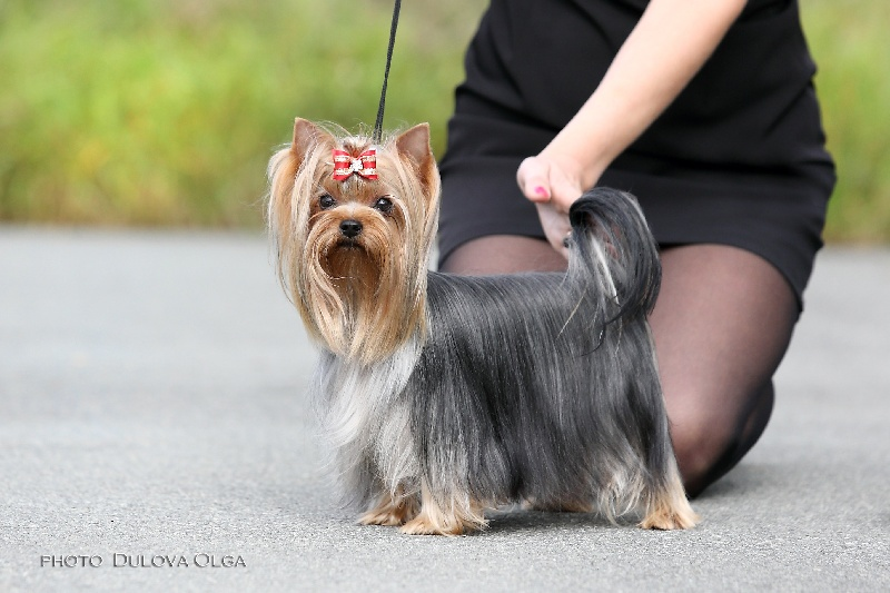 Les Yorkshire Terrier de l'affixe New Litel Boss
