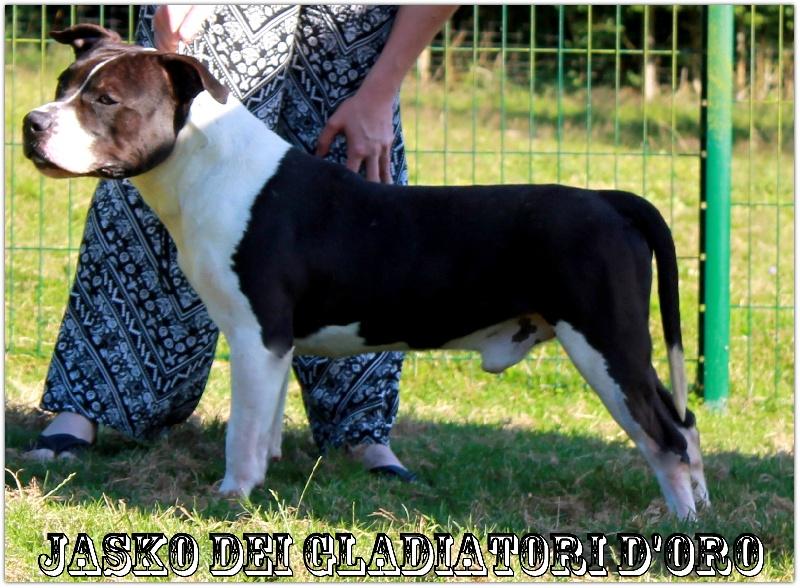 American Staffordshire Terrier - Jasko Dei Gladiatori D'oro