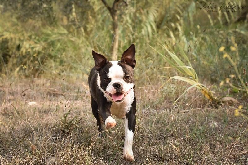 Les Boston Terrier de l'affixe Des Chiens De Nissa La Bella