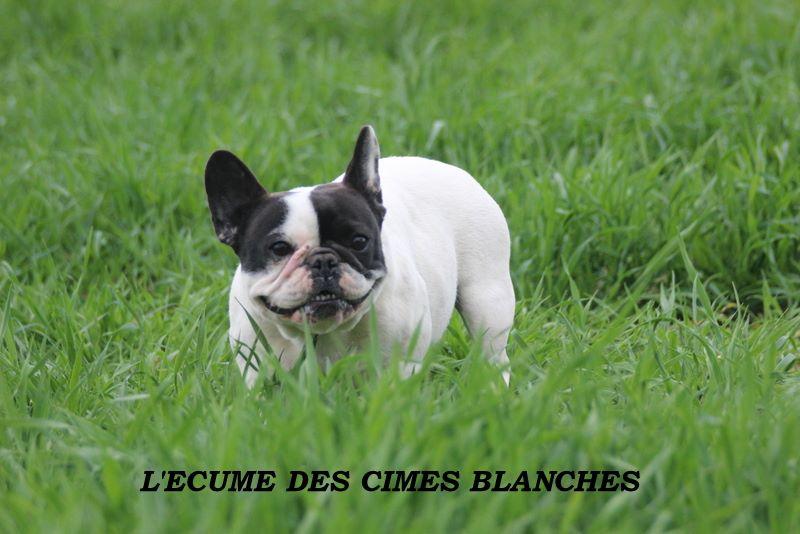 Bouledogue français - Imperatrice sissi de l'écume des cimes blanches