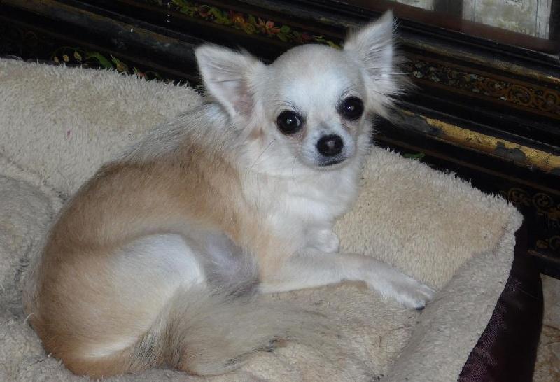 Les Chihuahua de l'affixe du Mont D'Alesia