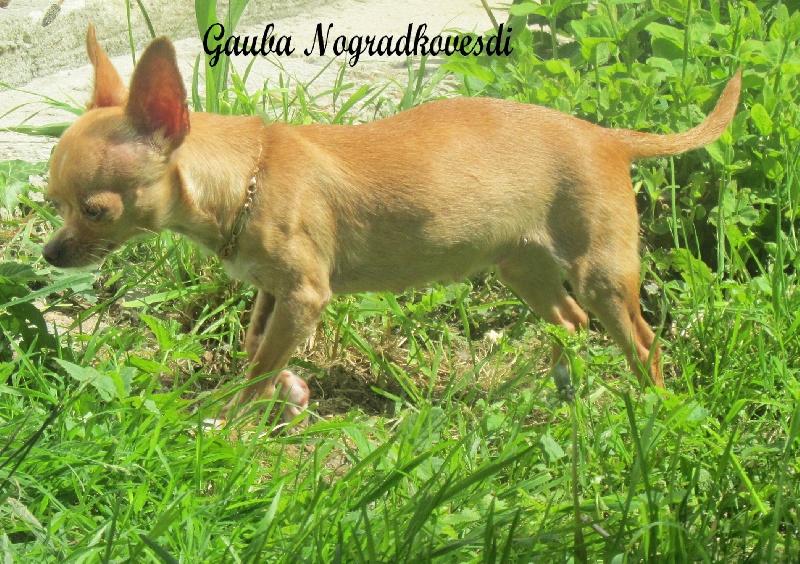 Les Chihuahua de l'affixe Bluestarnorevs