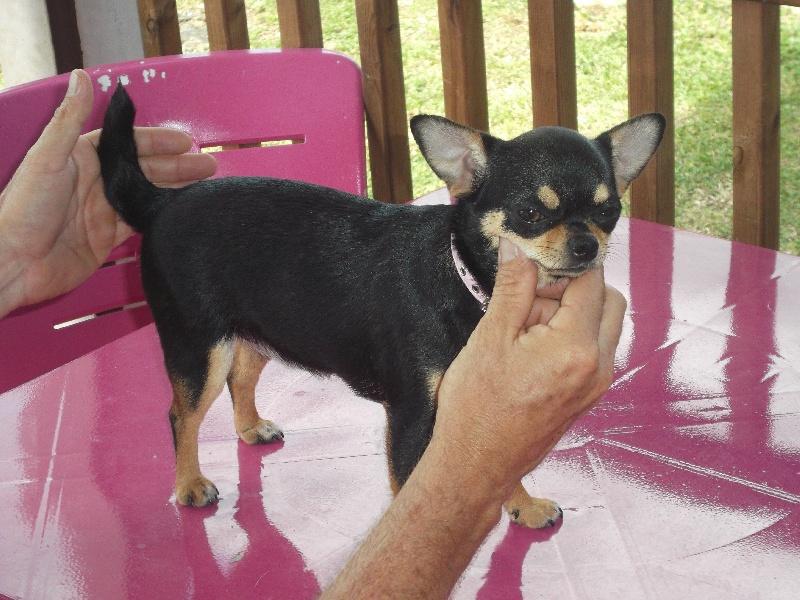 Les Chihuahua de l'affixe De L'Enclos Des Niches Créoles