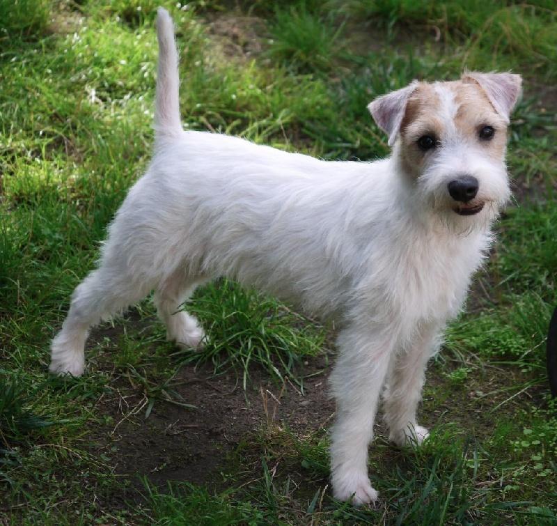 Les Parson Russell Terrier de l'affixe de l'Anse Royale