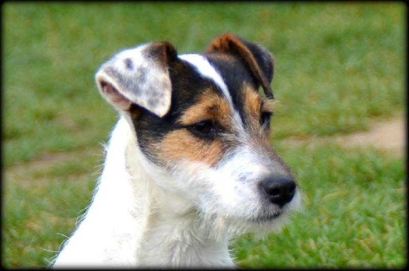 Les Parson Russell Terrier de l'affixe du triskel d'argent