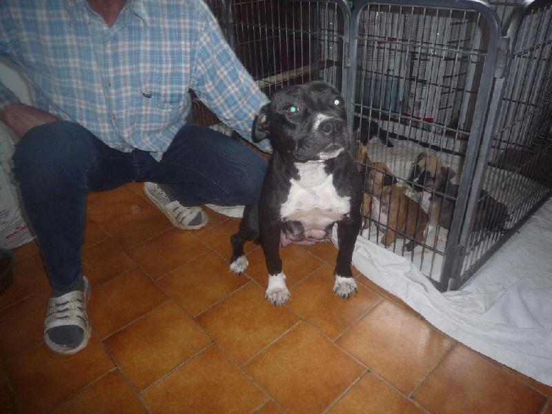 American Staffordshire Terrier - Lovely de la Terre d'Ovalie