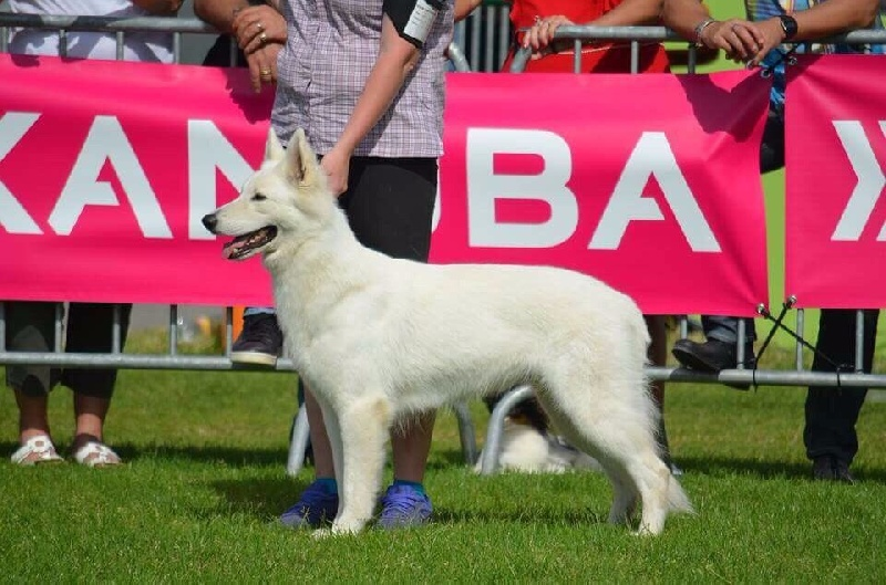Berger Blanc Suisse - CH. Lix indra P'tits Loups d'Amour