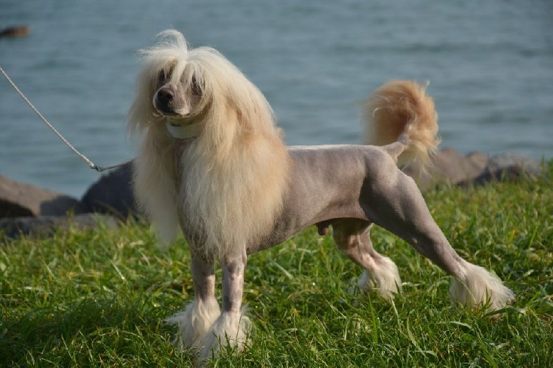 chien elevage caribbean criollo eleveur de chiens chien chinois cr te. Black Bedroom Furniture Sets. Home Design Ideas