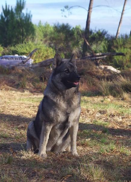 Les Chien d'elan norvegien gris de l'affixe de la taniere de saint loup