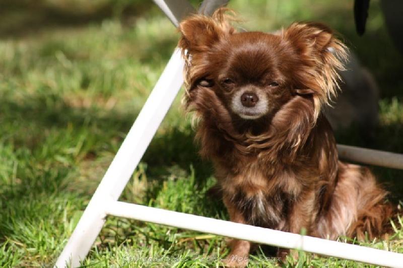 Chihuahua - Idylle des Petits Mots Doux