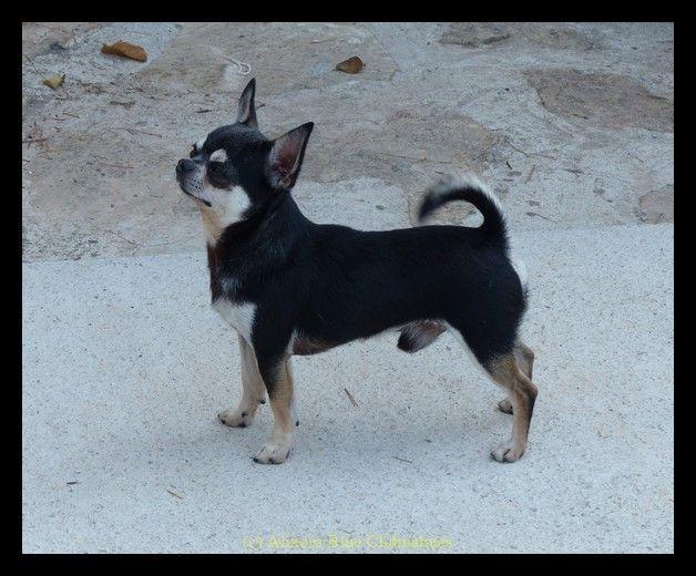 Chihuahua - CH. Singing king di san gimignano