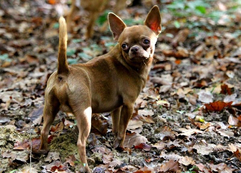 Les Chihuahua de l'affixe Rock'n Love