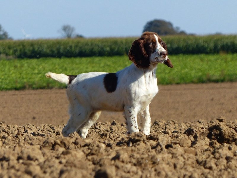 English Springer Spaniel - Mylane Des Terres De Beaulieu