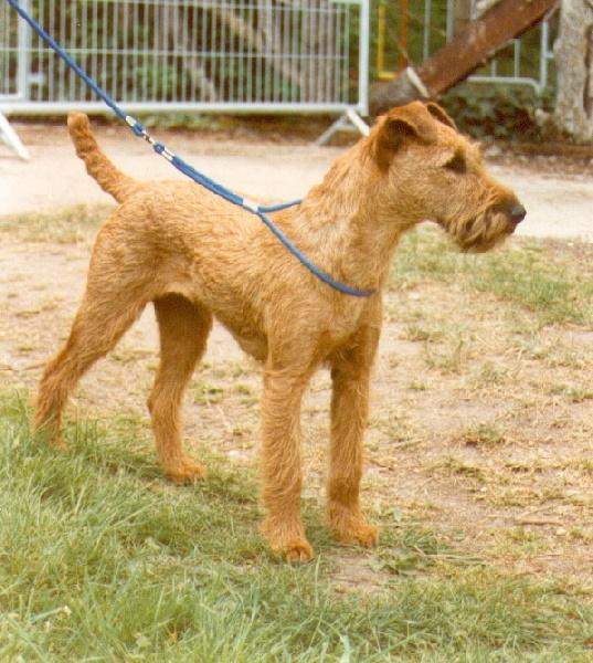 Le Standard de la race Irish Terrier sur Atara.com