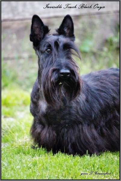 Les Scottish Terrier de l'affixe D'Ainhoa