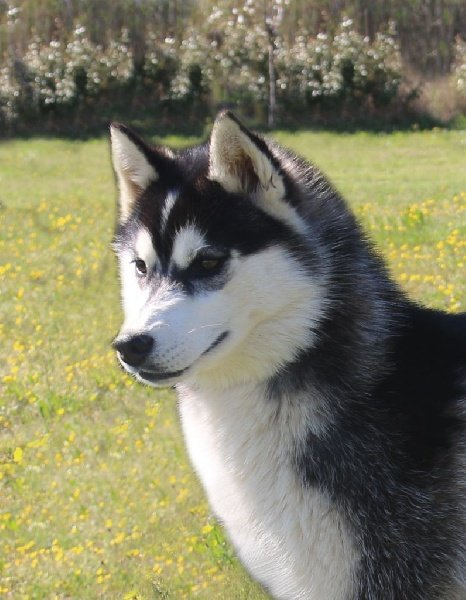 Siberian Husky - Just a pretty woman of Nordic Forest