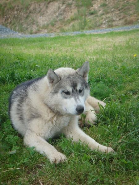Les Siberian Husky de l'affixe des bois de la bro
