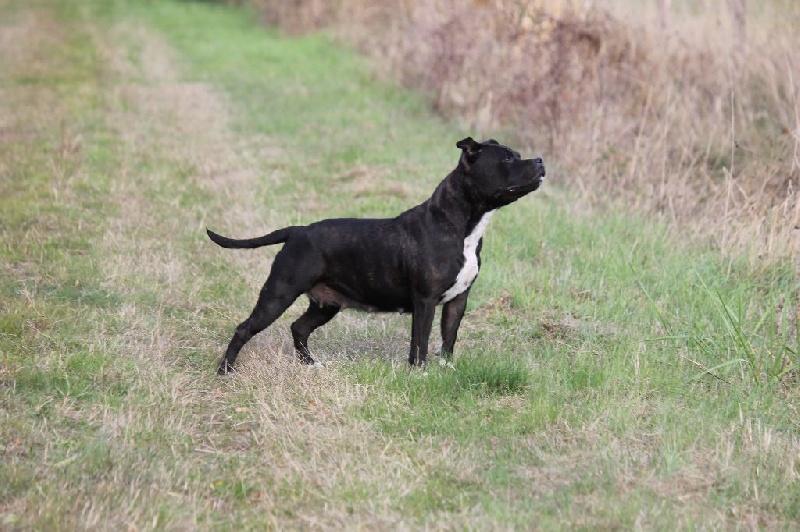 Les Staffordshire Bull Terrier de l'affixe de Chercica