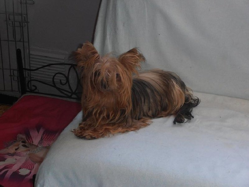 Yorkshire Terrier - Harianne Something Else