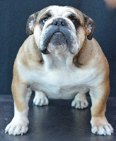 Liberty Of Pretty Master Bulldog