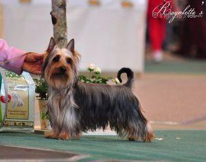 Le Standard de la race Australian Silky Terrier sur Atara.com