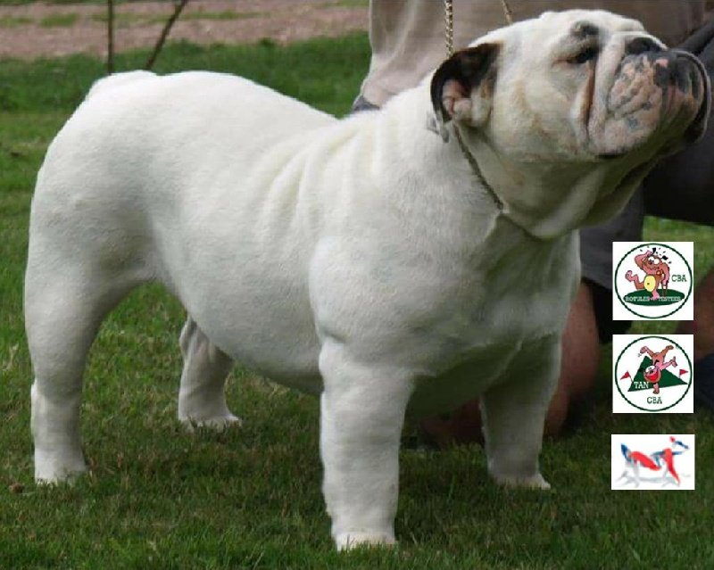 Les Bulldog Anglais de l'affixe Bull's of Normandy