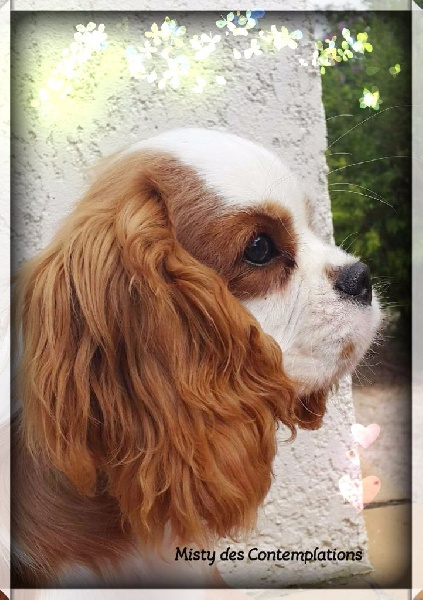 Cavalier King Charles Spaniel - Mitsy Des contemplations