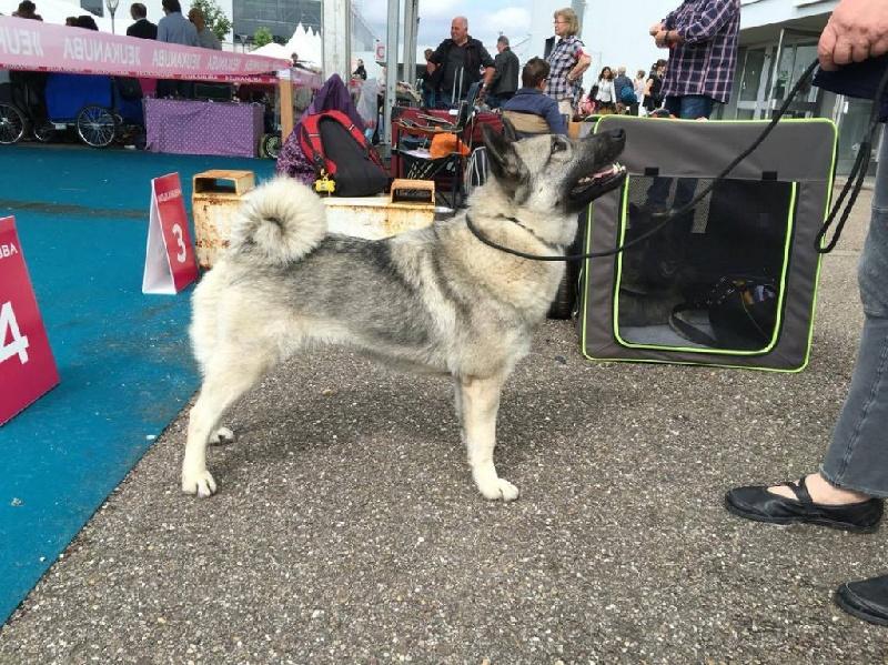 Le Standard de la race Chien d'elan norvegien gris sur Atara.com