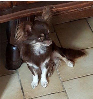 Les Chihuahua de l'affixe Des Jardins De Titan