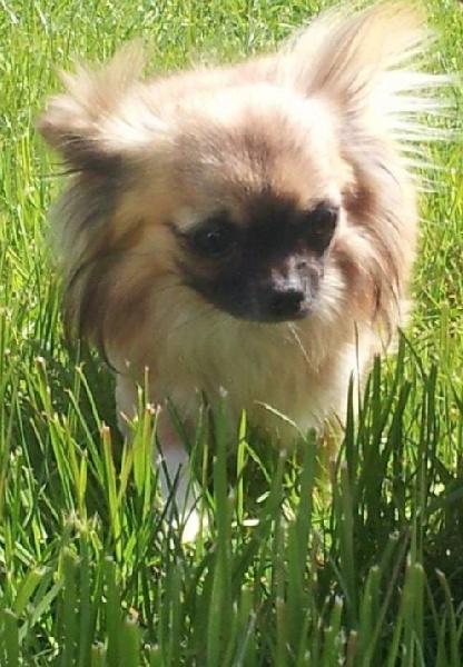Les Chihuahua de l'affixe Des Terres d'haïda