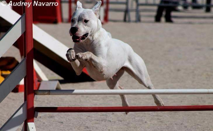 Les Dogo Argentino de l'affixe Sophia Tuis