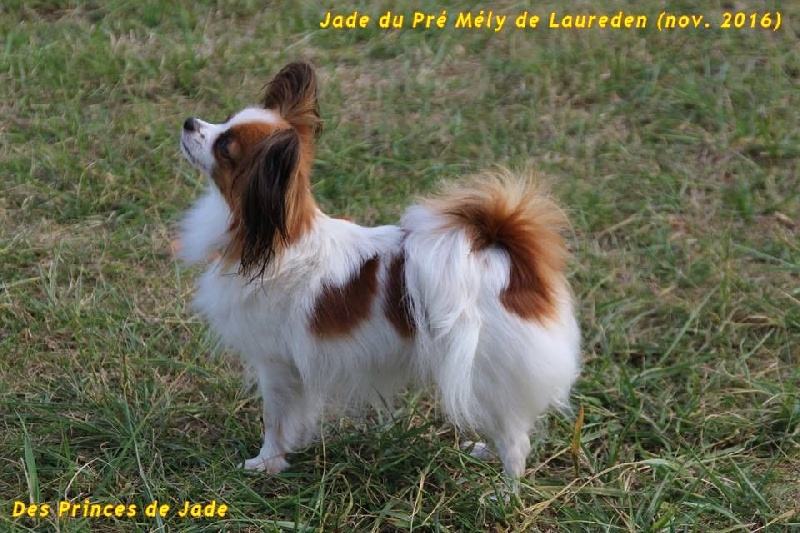 Chien - Elevage Des Princes De Jade - eleveur de chiens