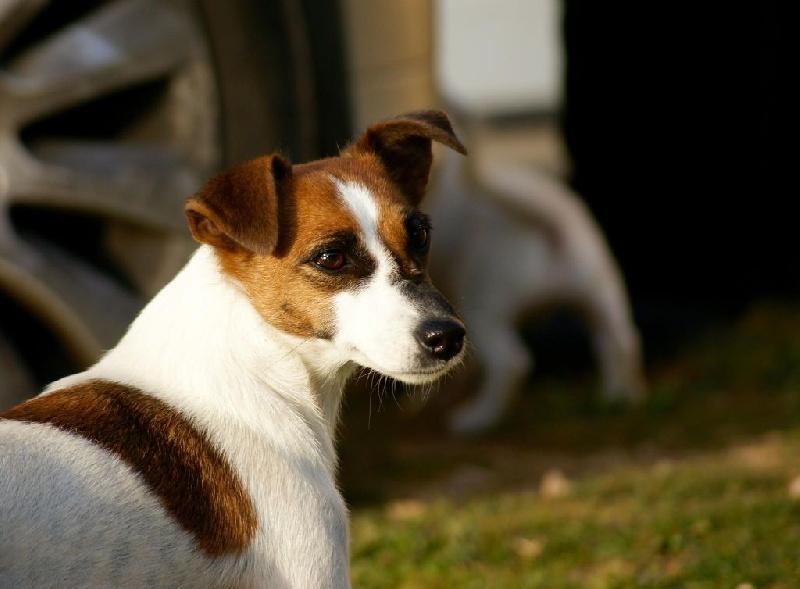 Les Jack Russell Terrier de l'affixe Du Mont Des Sapins Blancs