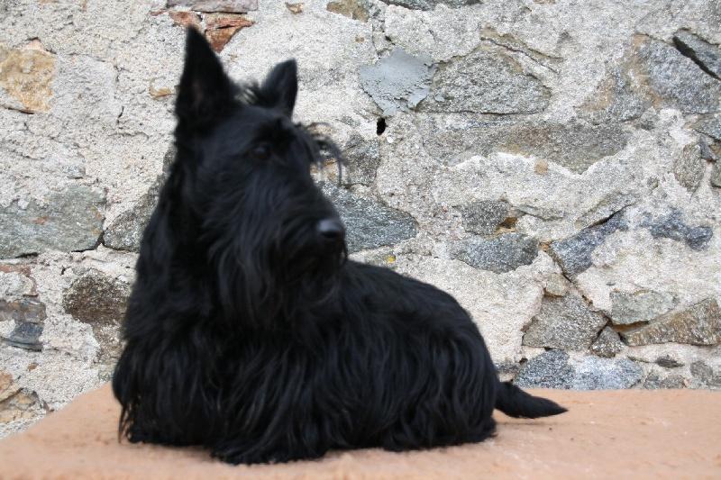 Les Scottish Terrier de l'affixe des vallées longeronnaises